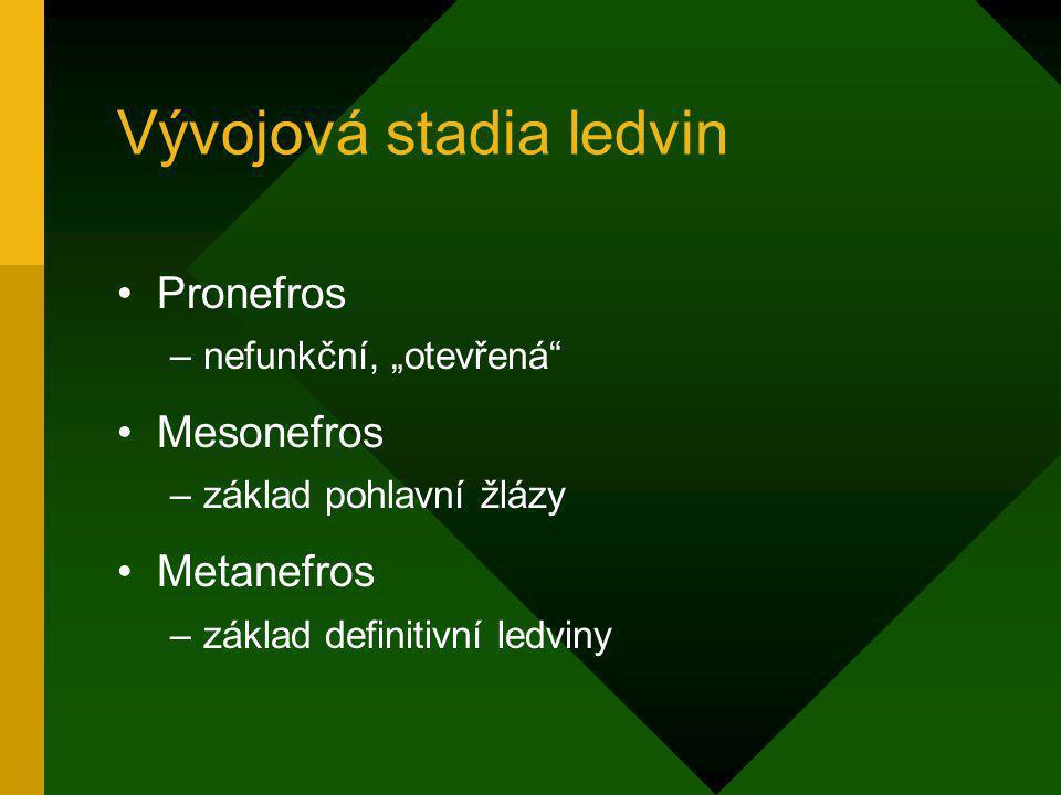 """Vývojová stadia ledvin Pronefros –nefunkční, """"otevřená"""" Mesonefros –základ pohlavní žlázy Metanefros –základ definitivní ledviny"""