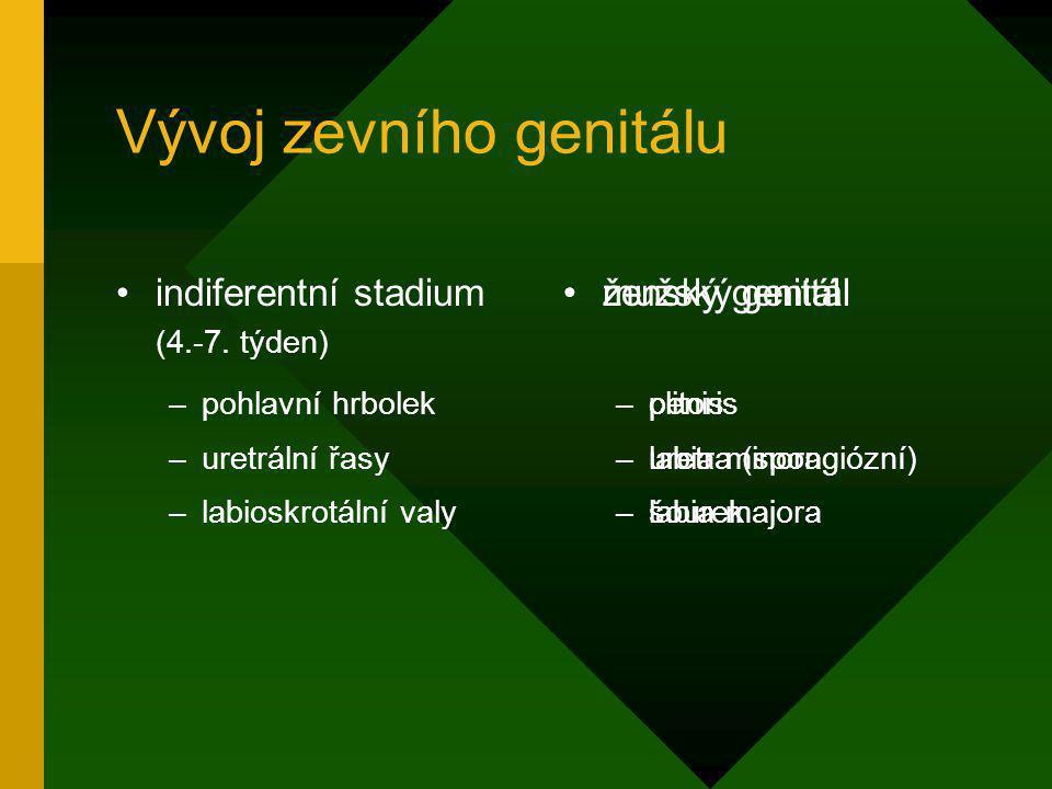 Vývoj zevního genitálu indiferentní stadium (4.-7. týden) –pohlavní hrbolek –uretrální řasy –labioskrotální valy ženský genitál –clitoris –labia minor