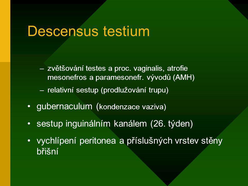 Descensus testium –zvětšování testes a proc. vaginalis, atrofie mesonefros a paramesonefr. vývodů (AMH) –relativní sestup (prodlužování trupu) guberna