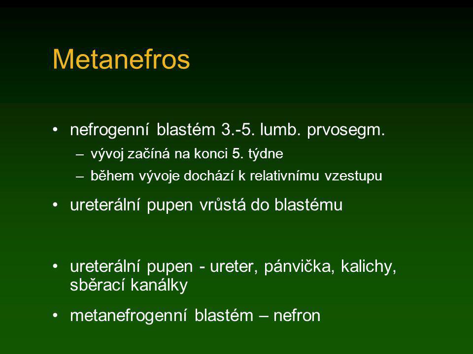 Metanefros nefrogenní blastém 3.-5. lumb. prvosegm. –vývoj začíná na konci 5. týdne –během vývoje dochází k relativnímu vzestupu ureterální pupen vrůs