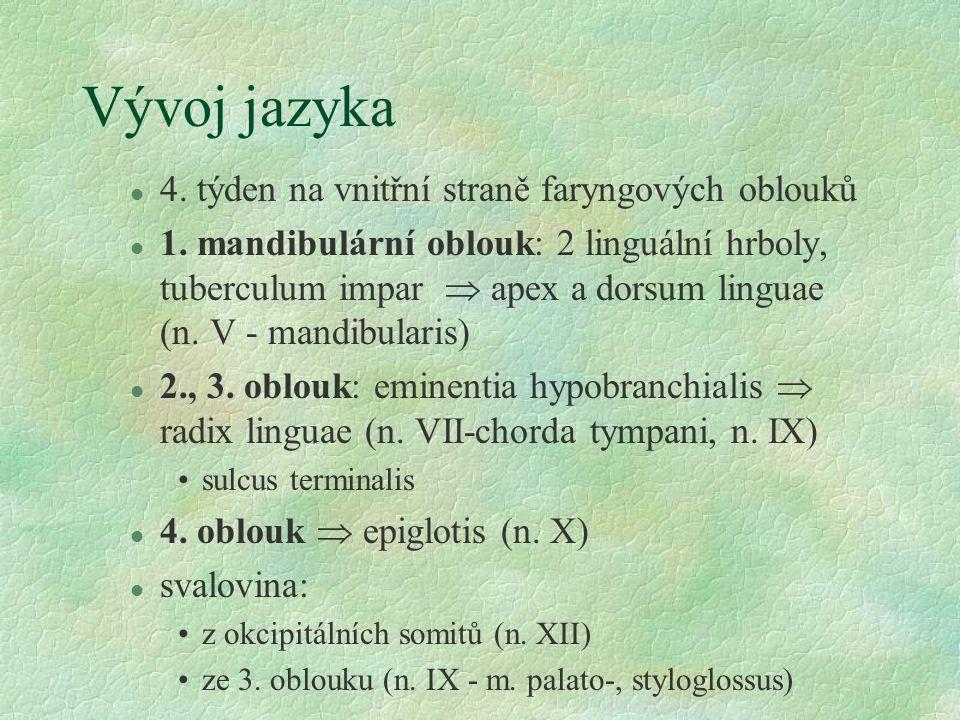 Vývoj jazyka l 4.týden na vnitřní straně faryngových oblouků l 1.