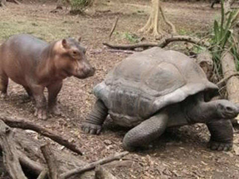 Mládě hrocha, které přežilo vlnu tsunami na keňském pobřeží si vytvořilo silný vztah ke stoletému samci obrovské želvy 300 kg mládě, kterému říkají Ow