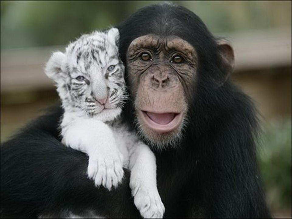 Šimpanz Anjana, který zachránil dva bílé tygry, kteří po hurikánu Hanna ztratili matku v Jižní Karolině. Nejen že si s nimi hraje, ale také pomáhá při