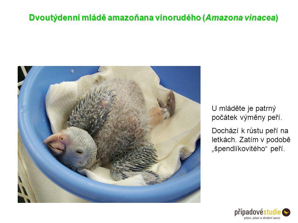"""Dvoutýdenní mládě amazoňana vínorudého (Amazona vinacea) U mláděte je patrný počátek výměny peří. Dochází k růstu peří na letkách. Zatím v podobě """"špe"""