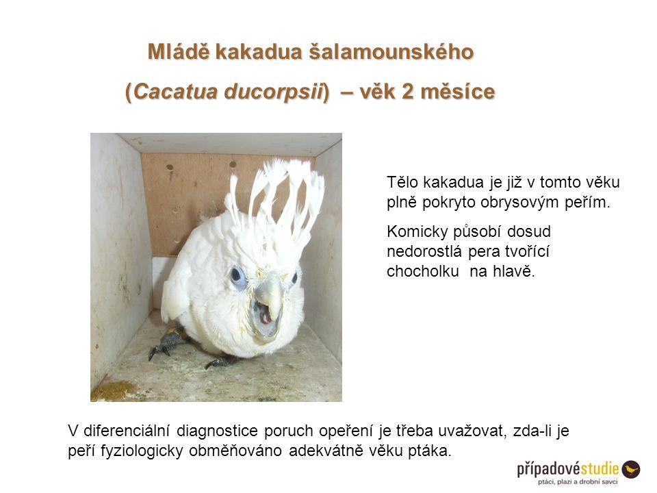 Mládě kakadua šalamounského (Cacatua ducorpsii) – věk 2 měsíce Tělo kakadua je již v tomto věku plně pokryto obrysovým peřím. Komicky působí dosud ned