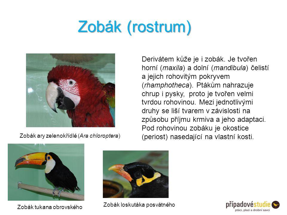 Derivátem kůže je i zobák. Je tvořen horní (maxila) a dolní (mandibula) čelistí a jejich rohovitým pokryvem (rhamphotheca). Ptákům nahrazuje chrup i p