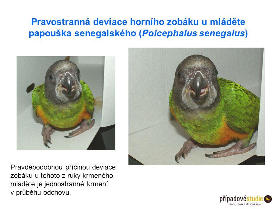 Pravostranná deviace horního zobáku u mláděte papouška senegalského (Poicephalus senegalus) Pravděpodobnou příčinou deviace zobáku u tohoto z ruky krm