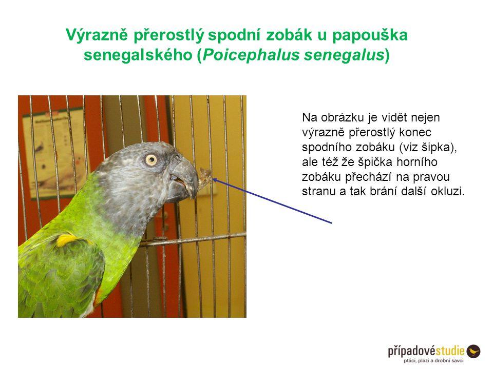 Výrazně přerostlý spodní zobák u papouška senegalského (Poicephalus senegalus) Na obrázku je vidět nejen výrazně přerostlý konec spodního zobáku (viz