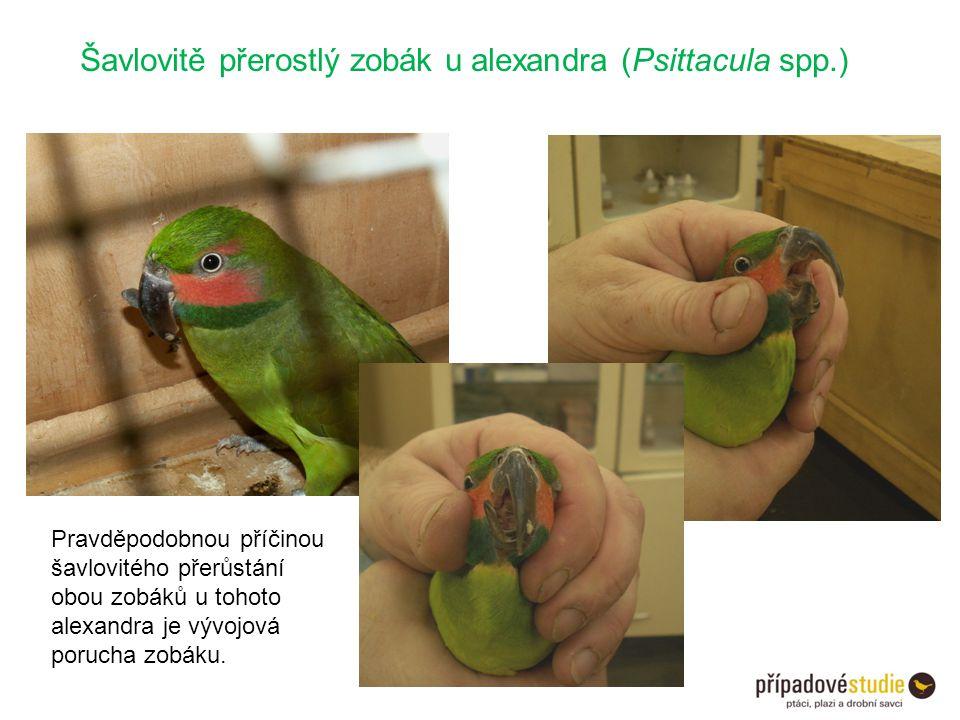 Šavlovitě přerostlý zobák u alexandra (Psittacula spp.) Pravděpodobnou příčinou šavlovitého přerůstání obou zobáků u tohoto alexandra je vývojová poru