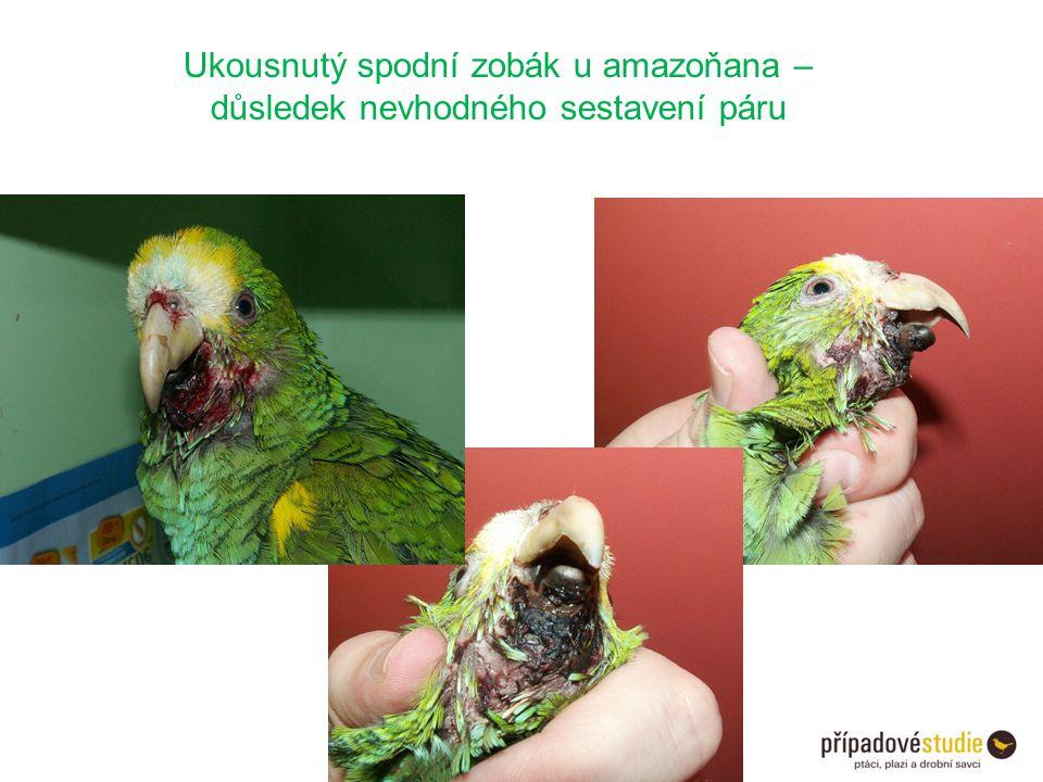 Ukousnutý spodní zobák u amazoňana – důsledek nevhodného sestavení páru