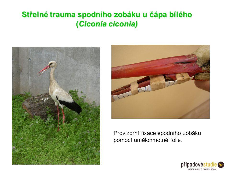 Střelné trauma spodního zobáku u čápa bílého (Ciconia ciconia) Provizorní fixace spodního zobáku pomocí umělohmotné folie.