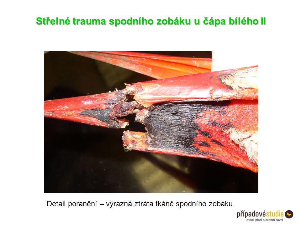 Střelné trauma spodního zobáku u čápa bílého II Detail poranění – výrazná ztráta tkáně spodního zobáku.