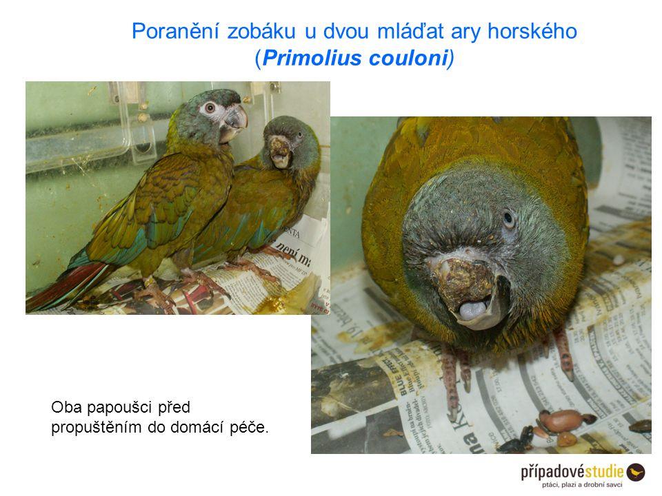 Oba papoušci před propuštěním do domácí péče. Poranění zobáku u dvou mláďat ary horského (Primolius couloni)
