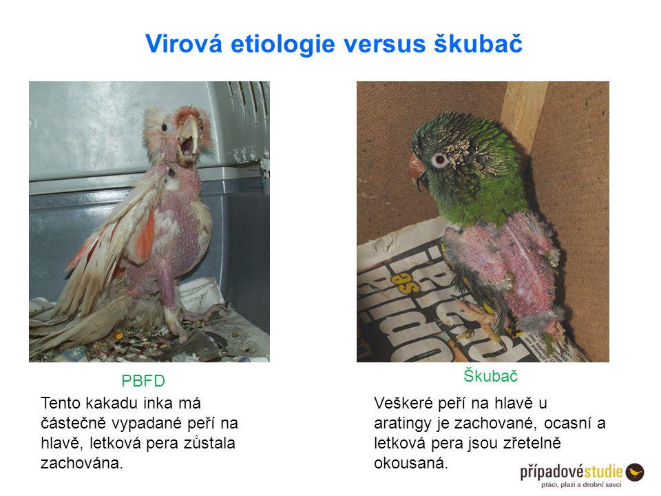 Virová etiologie versus škubač PBFD Škubač Tento kakadu inka má částečně vypadané peří na hlavě, letková pera zůstala zachována. Veškeré peří na hlavě