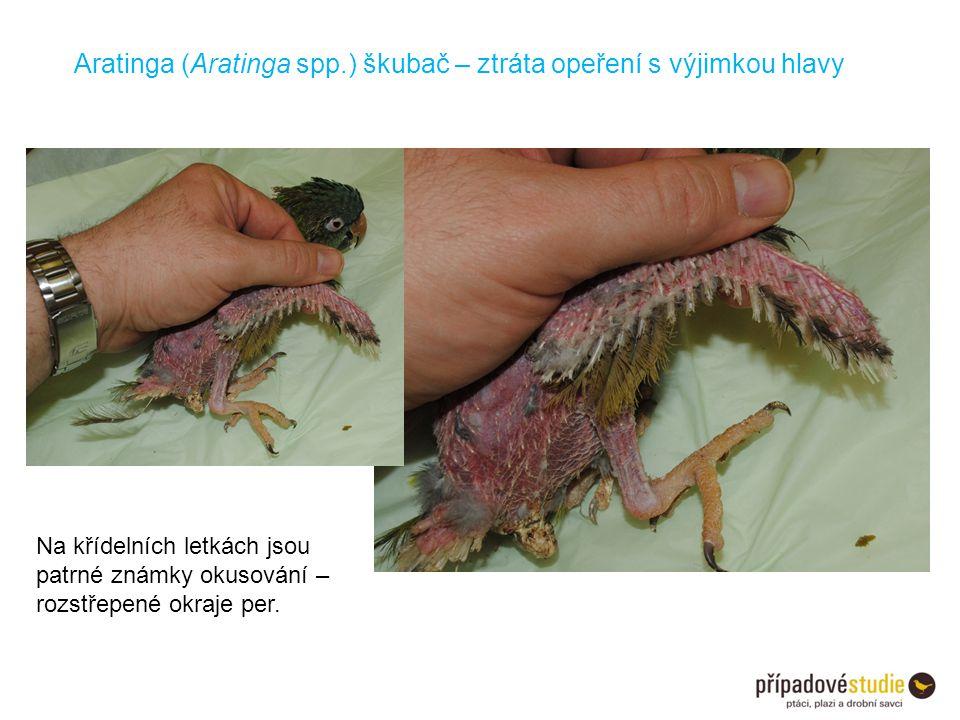 Na křídelních letkách jsou patrné známky okusování – rozstřepené okraje per. Aratinga (Aratinga spp.) škubač – ztráta opeření s výjimkou hlavy