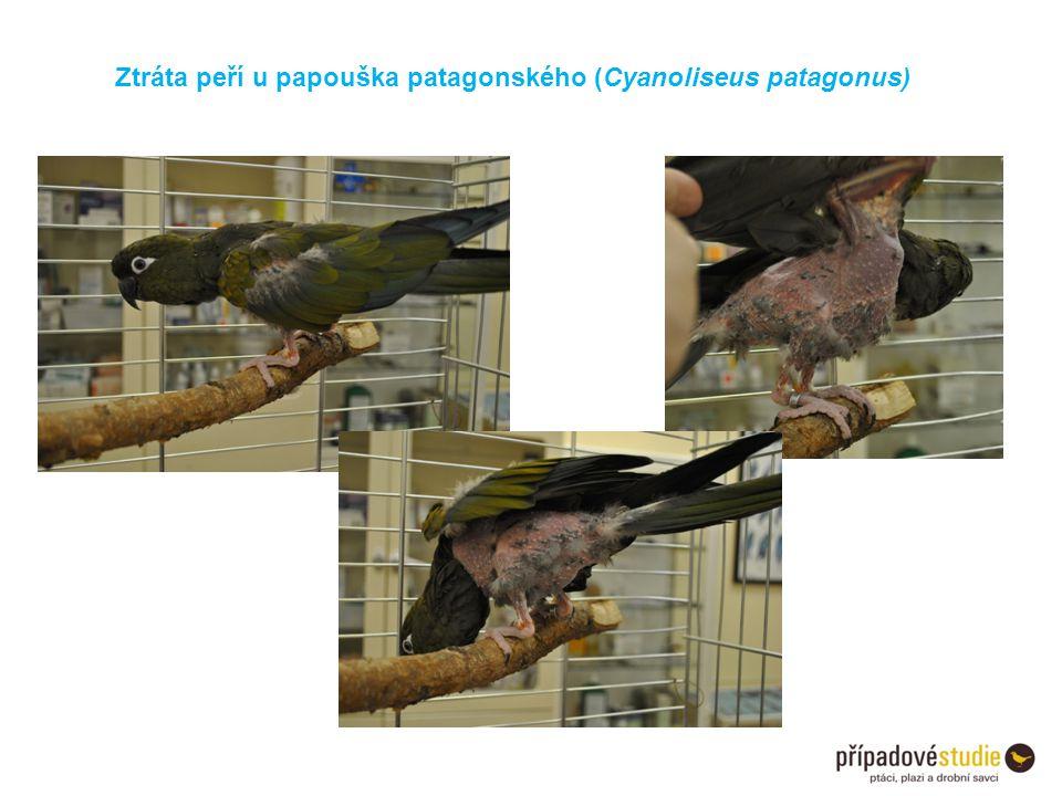 Ztráta peří u papouška patagonského (Cyanoliseus patagonus)