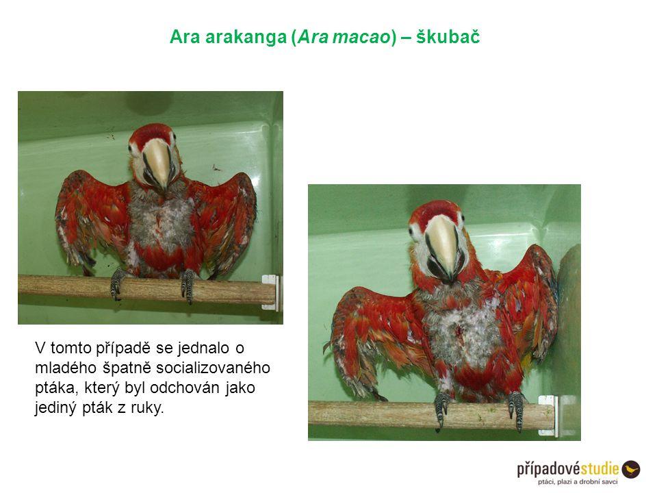 Ara arakanga (Ara macao) – škubač V tomto případě se jednalo o mladého špatně socializovaného ptáka, který byl odchován jako jediný pták z ruky.
