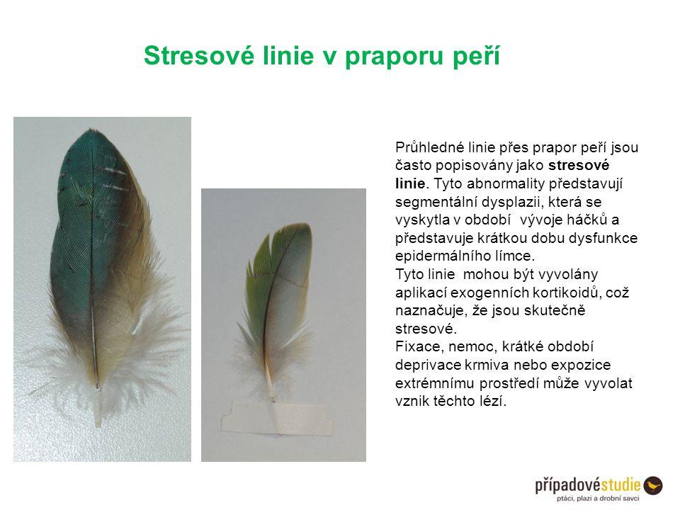 Stresové linie v praporu peří Průhledné linie přes prapor peří jsou často popisovány jako stresové linie. Tyto abnormality představují segmentální dys