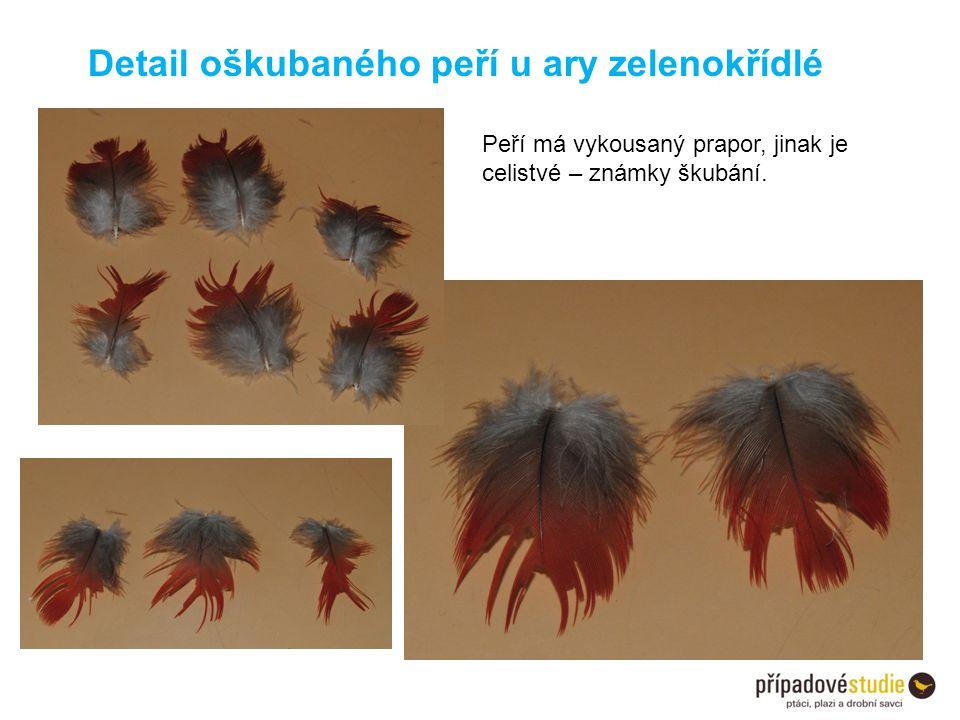 Peří má vykousaný prapor, jinak je celistvé – známky škubání. Detail oškubaného peří u ary zelenokřídlé