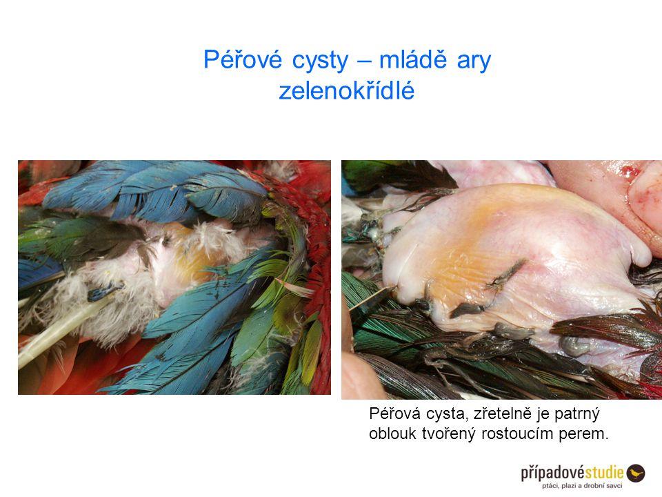 Péřové cysty – mládě ary zelenokřídlé Péřová cysta, zřetelně je patrný oblouk tvořený rostoucím perem.
