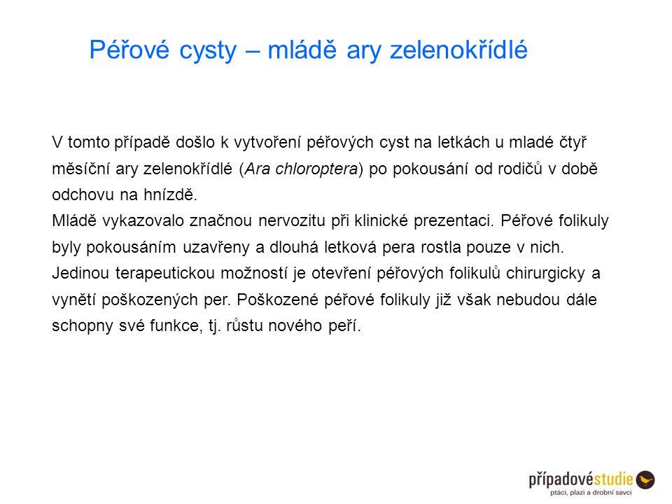 Péřové cysty – mládě ary zelenokřídlé V tomto případě došlo k vytvoření péřových cyst na letkách u mladé čtyř měsíční ary zelenokřídlé (Ara chloropter