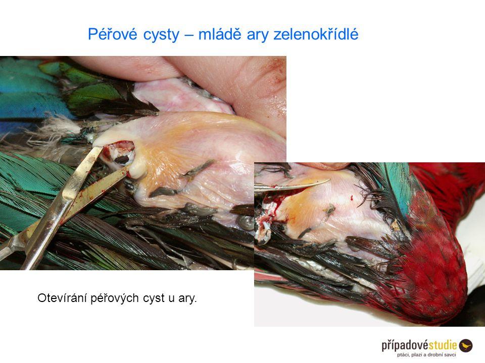 Otevírání péřových cyst u ary. Péřové cysty – mládě ary zelenokřídlé