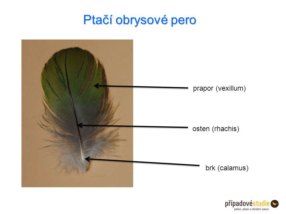 Ptačí obrysové pero prapor (vexillum) osten (rhachis) brk (calamus)