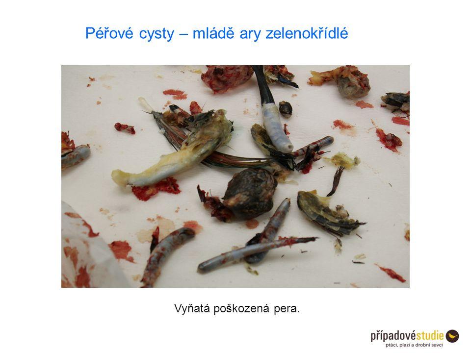 Vyňatá poškozená pera. Péřové cysty – mládě ary zelenokřídlé