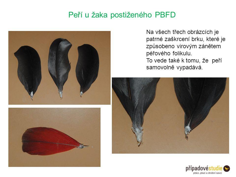 Peří u žaka postiženého PBFD Na všech třech obrázcích je patrné zaškrcení brku, které je způsobeno virovým zánětem péřového folikulu. To vede také k t