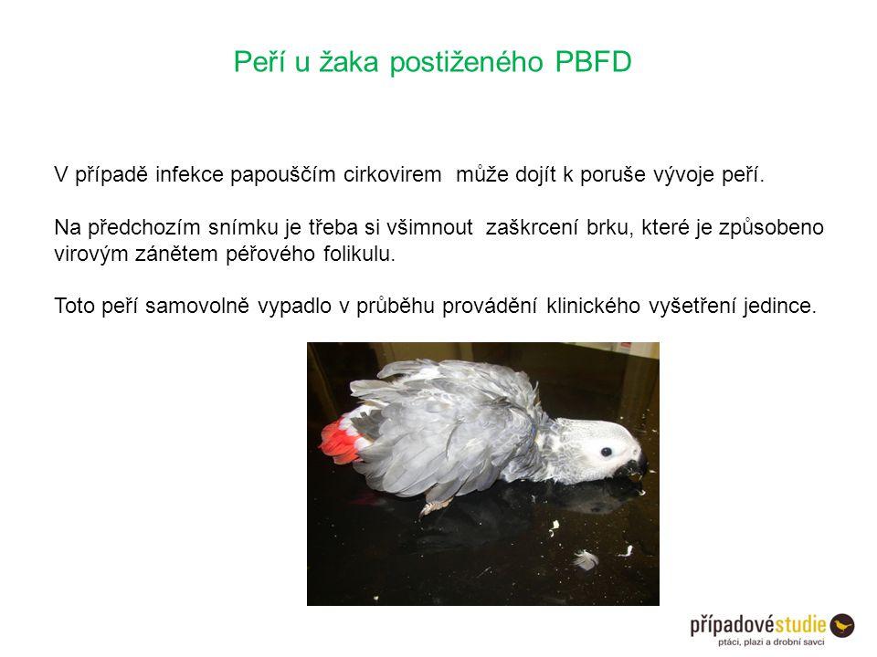 Peří u žaka postiženého PBFD V případě infekce papouščím cirkovirem může dojít k poruše vývoje peří. Na předchozím snímku je třeba si všimnout zaškrce
