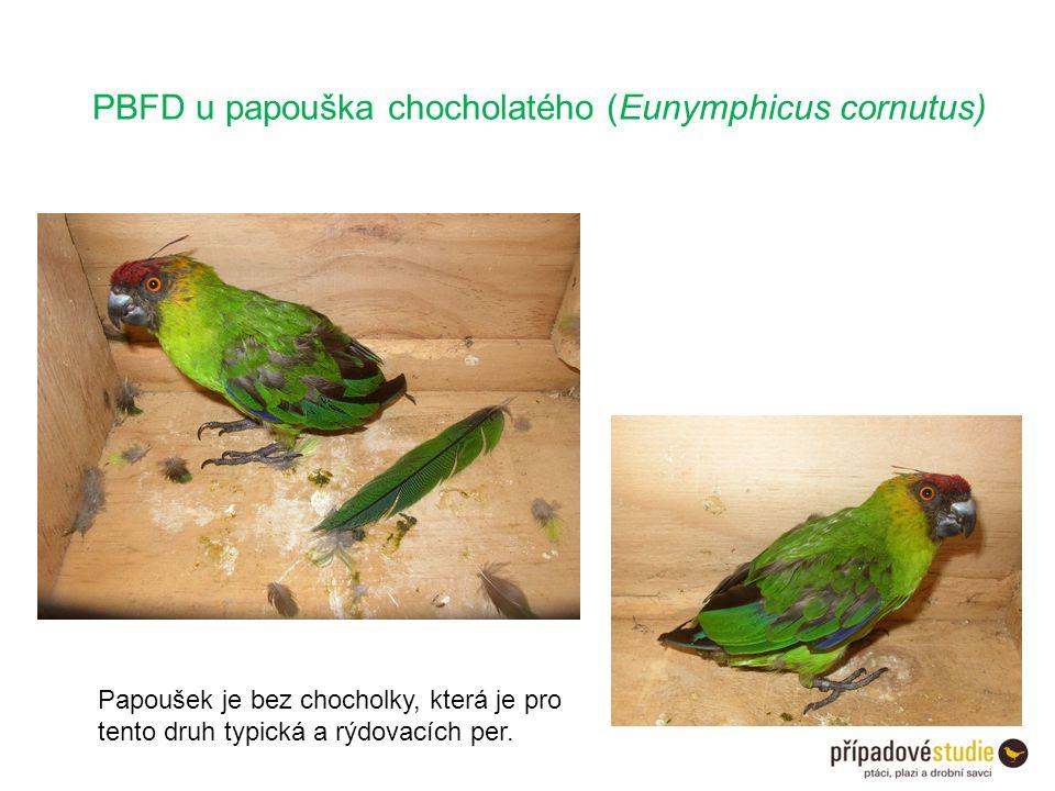 PBFD u papouška chocholatého (Eunymphicus cornutus) Papoušek je bez chocholky, která je pro tento druh typická a rýdovacích per.