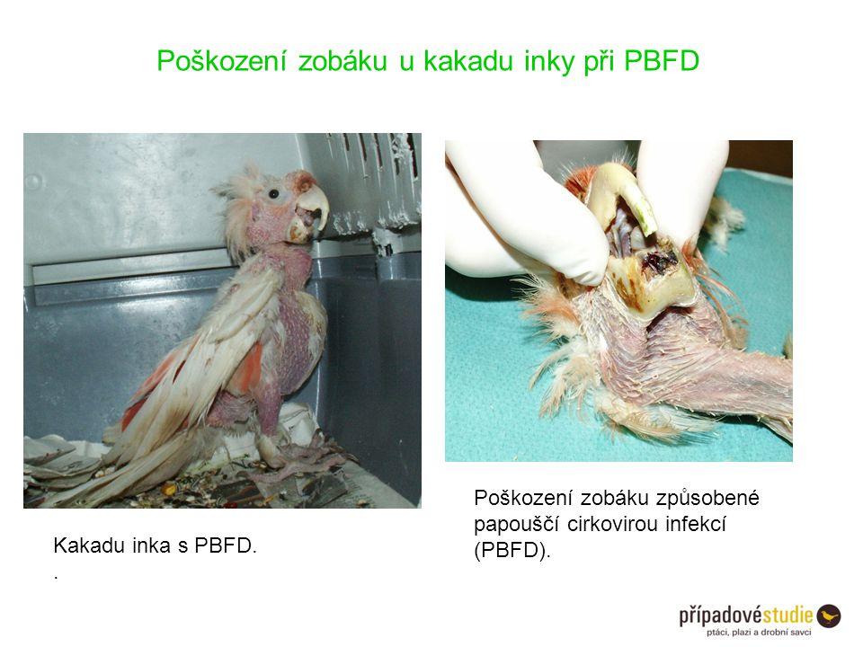 Kakadu inka s PBFD.. Poškození zobáku způsobené papouščí cirkovirou infekcí (PBFD). Poškození zobáku u kakadu inky při PBFD