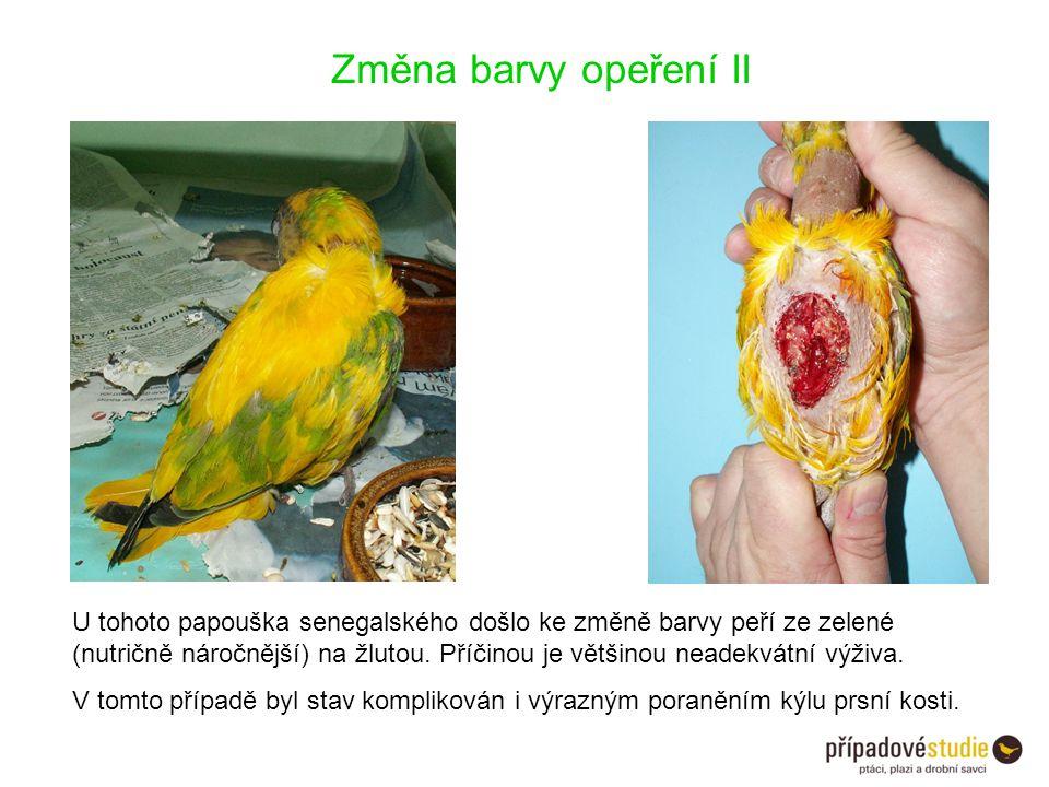 Změna barvy opeření II U tohoto papouška senegalského došlo ke změně barvy peří ze zelené (nutričně náročnější) na žlutou. Příčinou je většinou neadek