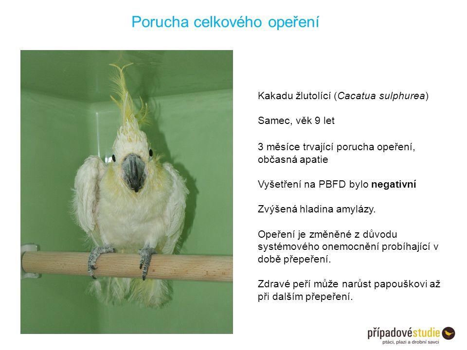 Porucha celkového opeření Kakadu žlutolící (Cacatua sulphurea) Samec, věk 9 let 3 měsíce trvající porucha opeření, občasná apatie Vyšetření na PBFD by