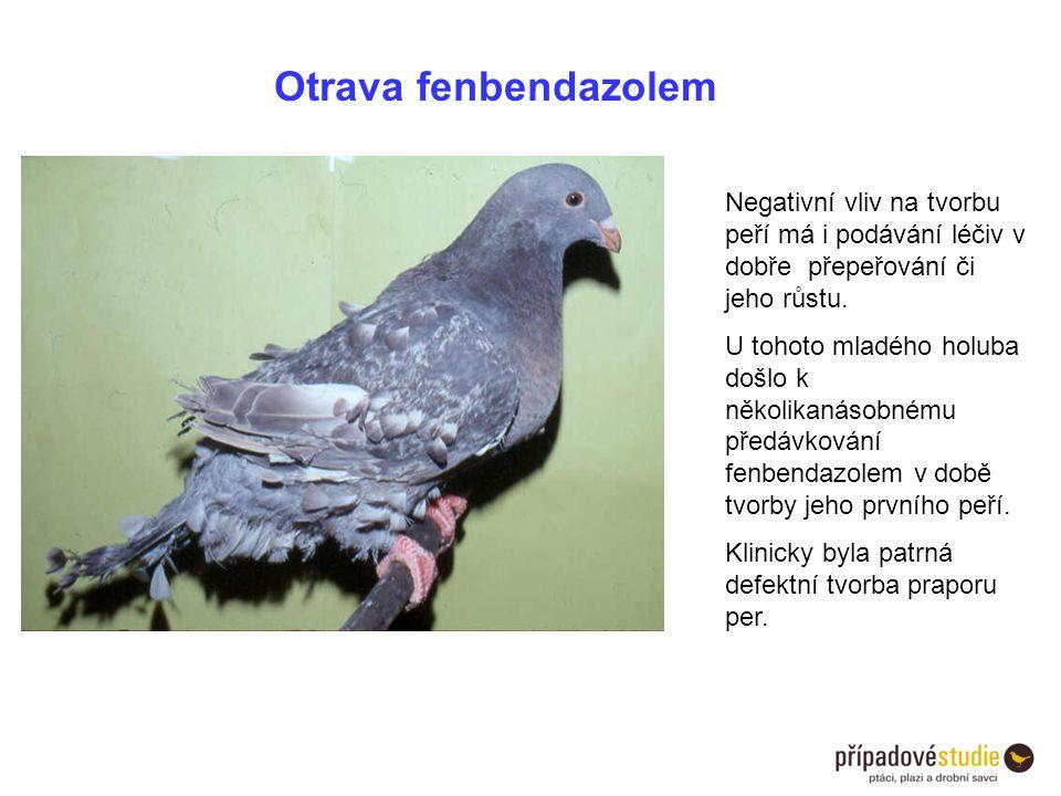 Otrava fenbendazolem Negativní vliv na tvorbu peří má i podávání léčiv v dobře přepeřování či jeho růstu. U tohoto mladého holuba došlo k několikanáso