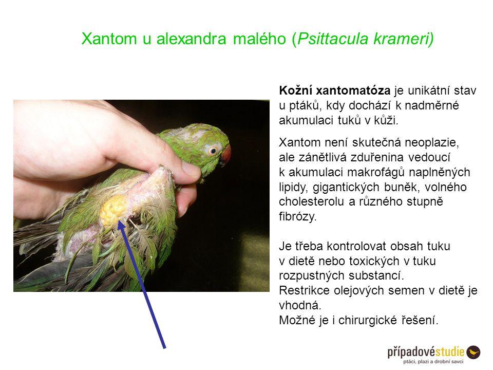 Xantom u alexandra malého (Psittacula krameri) Kožní xantomatóza je unikátní stav u ptáků, kdy dochází k nadměrné akumulaci tuků v kůži. Xantom není s