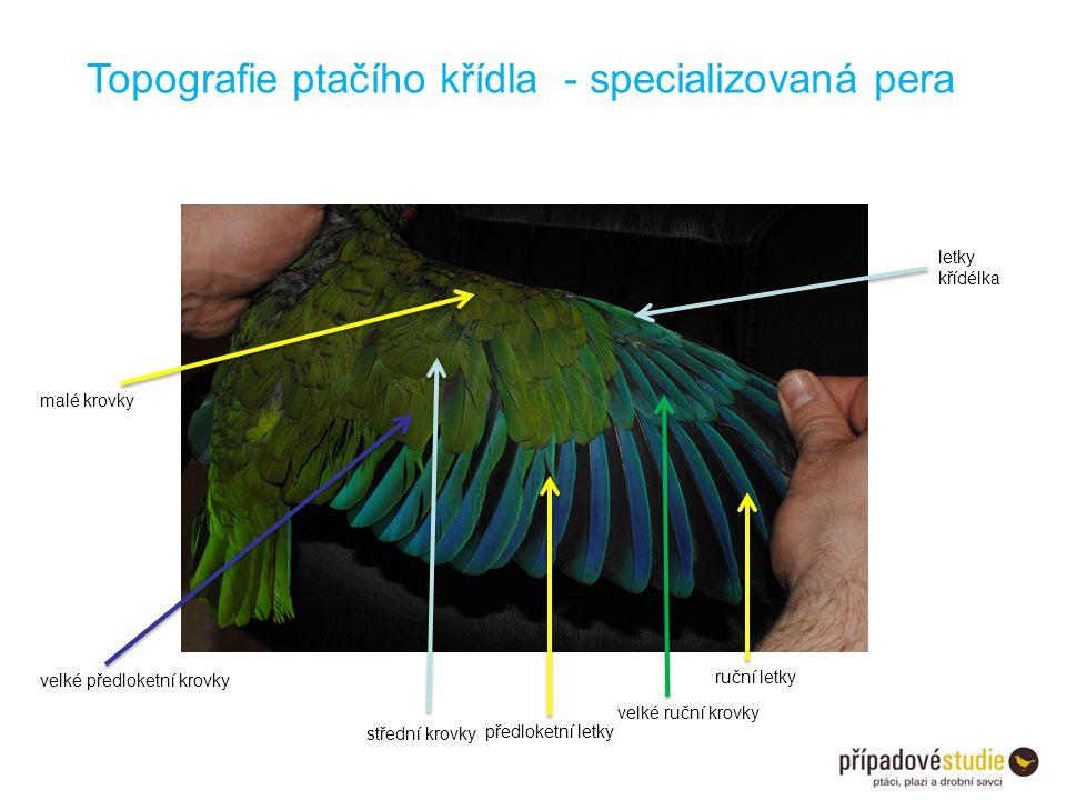 Topografie ptačího křídla - specializovaná pera ruční letky velké ruční krovky letky křídélka předloketní letky velké předloketní krovky střední krovk