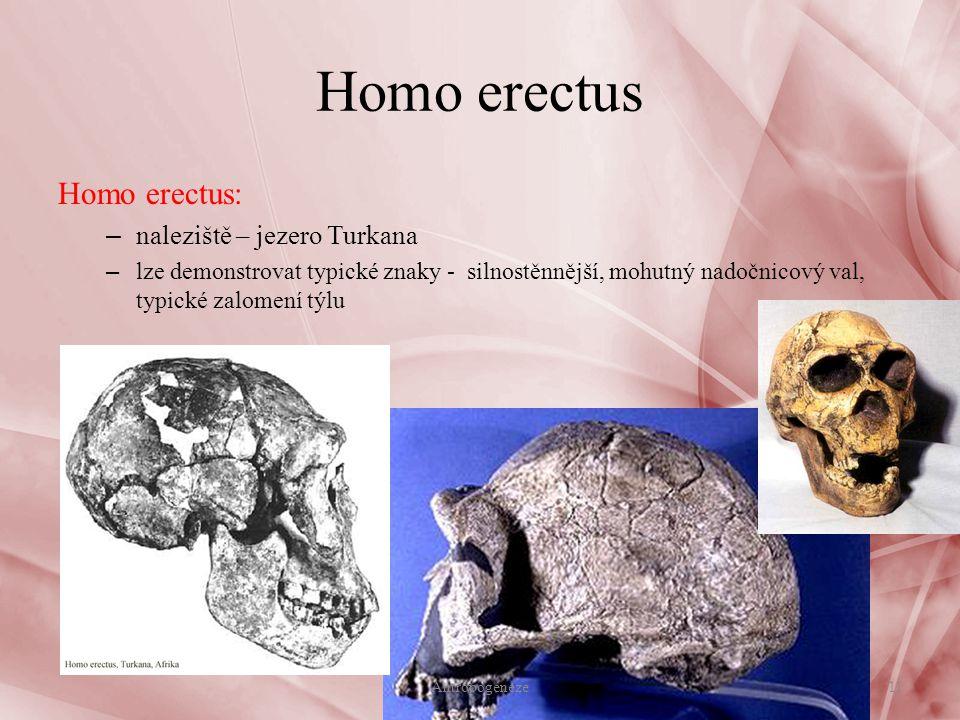 Homo erectus Homo erectus: – naleziště – jezero Turkana – lze demonstrovat typické znaky - silnostěnnější, mohutný nadočnicový val, typické zalomení týlu 11Antropogeneze