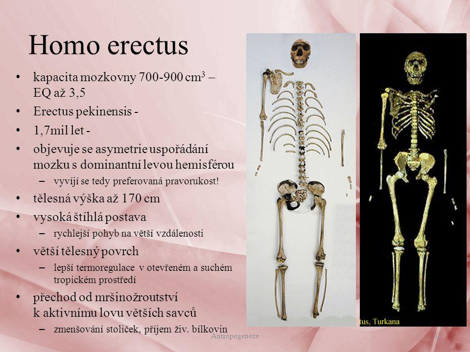 Homo erectus kapacita mozkovny 700-900 cm 3 – EQ až 3,5 Erectus pekinensis - 1,7mil let - objevuje se asymetrie uspořádání mozku s dominantní levou hemisférou – vyvíjí se tedy preferovaná pravorukost.