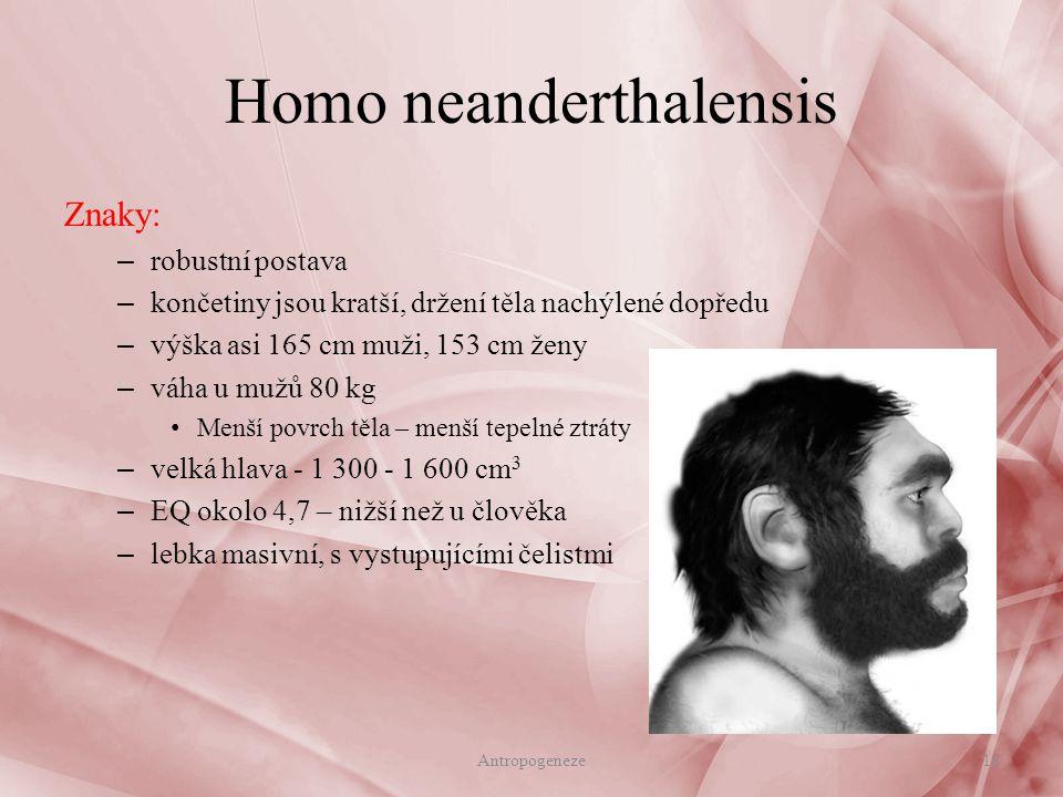 Znaky: – robustní postava – končetiny jsou kratší, držení těla nachýlené dopředu – výška asi 165 cm muži, 153 cm ženy – váha u mužů 80 kg Menší povrch těla – menší tepelné ztráty – velká hlava - 1 300 - 1 600 cm 3 – EQ okolo 4,7 – nižší než u člověka – lebka masivní, s vystupujícími čelistmi Homo neanderthalensis 18Antropogeneze