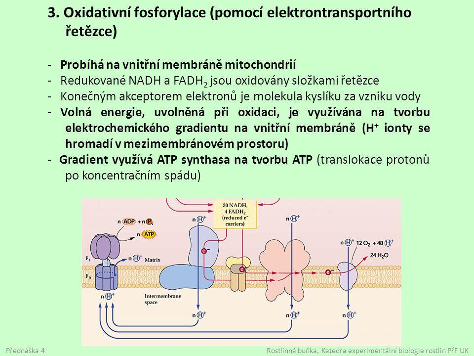 3. Oxidativní fosforylace (pomocí elektrontransportního řetězce) - Probíhá na vnitřní membráně mitochondrií - Redukované NADH a FADH 2 jsou oxidovány