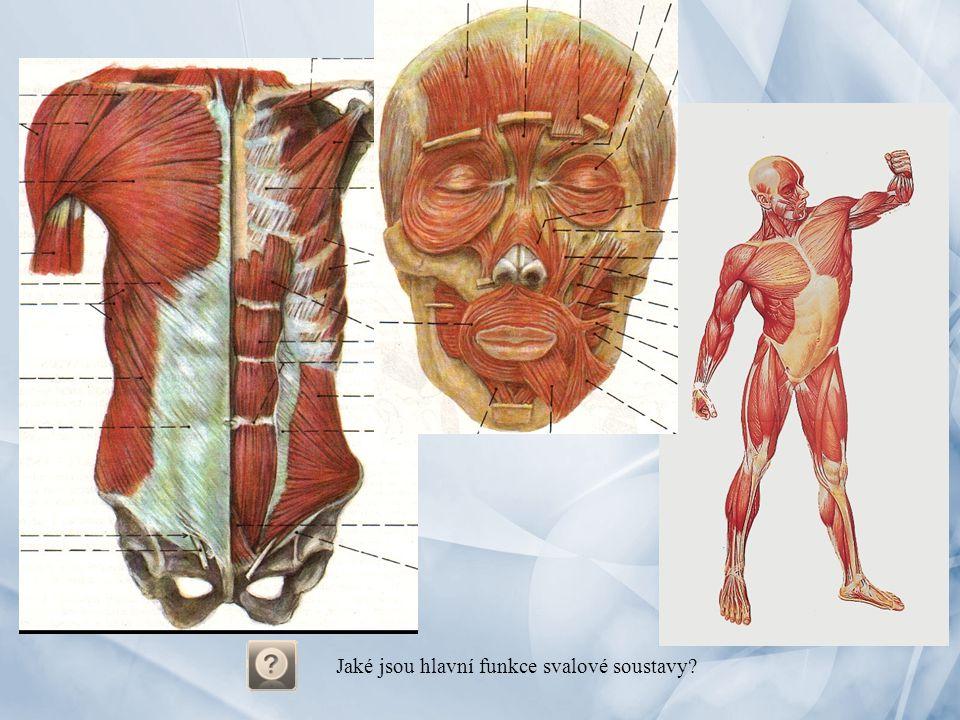 Jaké jsou hlavní funkce svalové soustavy?