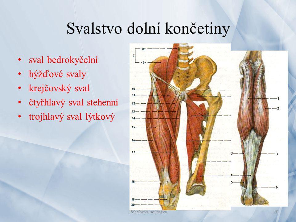 Svalstvo dolní končetiny sval bedrokyčelní hýžďové svaly krejčovský sval čtyřhlavý sval stehenní trojhlavý sval lýtkový 20Pohybová soustava