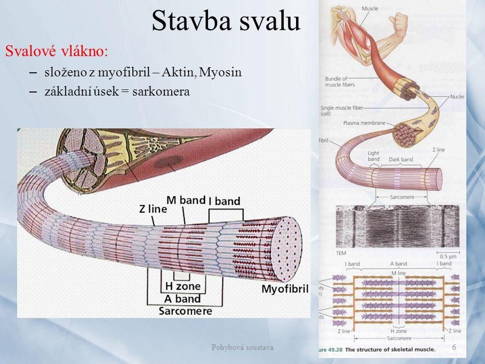 Stavba svalu Svalové vlákno: – složeno z myofibril – Aktin, Myosin – základní úsek = sarkomera 6Pohybová soustava