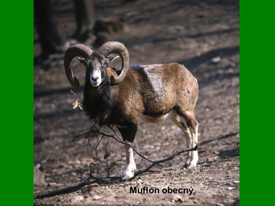 Muflon obecný