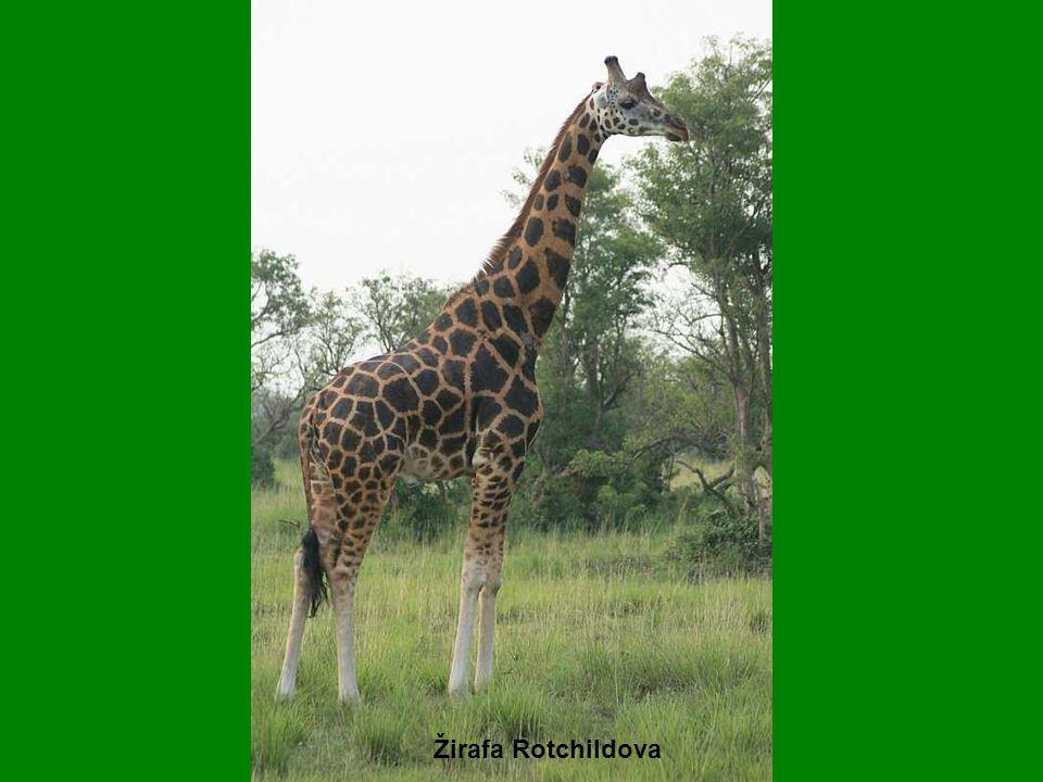 Žirafa Rotchildova