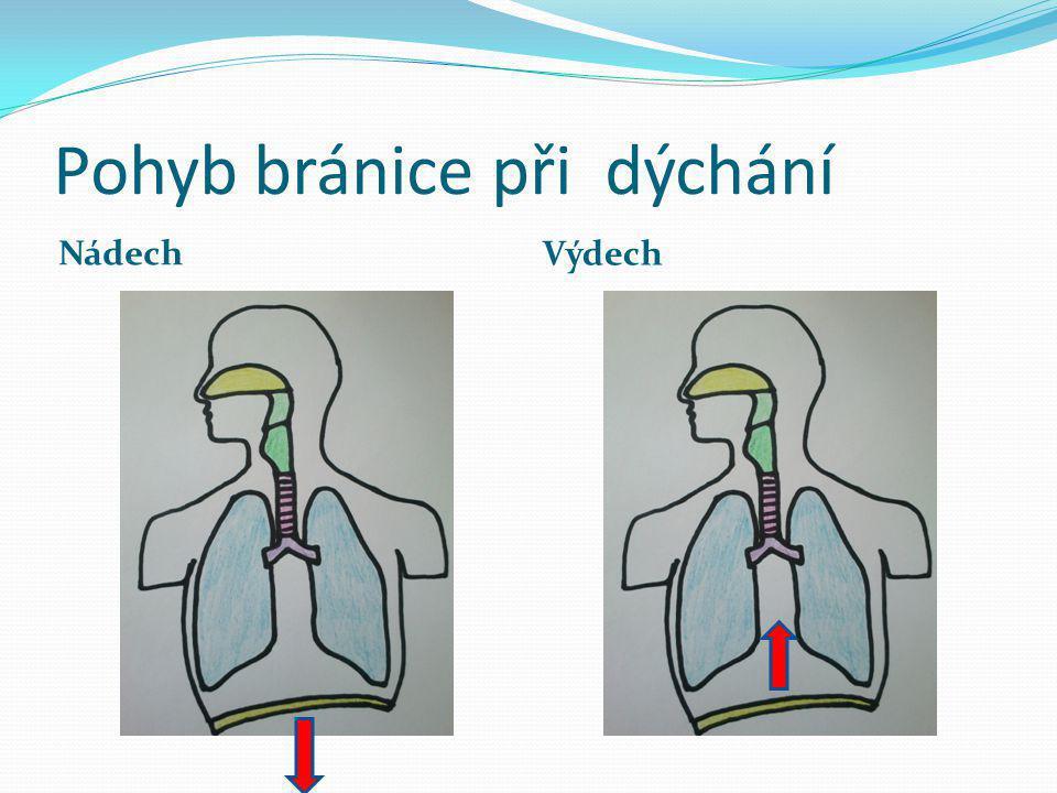 Pohyb bránice při dýchání Nádech Výdech