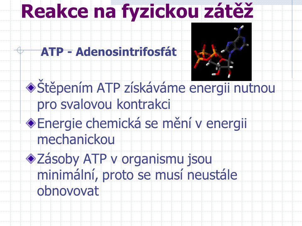Reakce na fyzickou zátěž Štěpením ATP získáváme energii nutnou pro svalovou kontrakci Energie chemická se mění v energii mechanickou Zásoby ATP v organismu jsou minimální, proto se musí neustále obnovovat ATP - Adenosintrifosfát