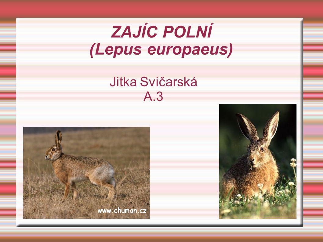 ZAJÍC POLNÍ (Lepus europaeus) Jitka Svičarská A.3