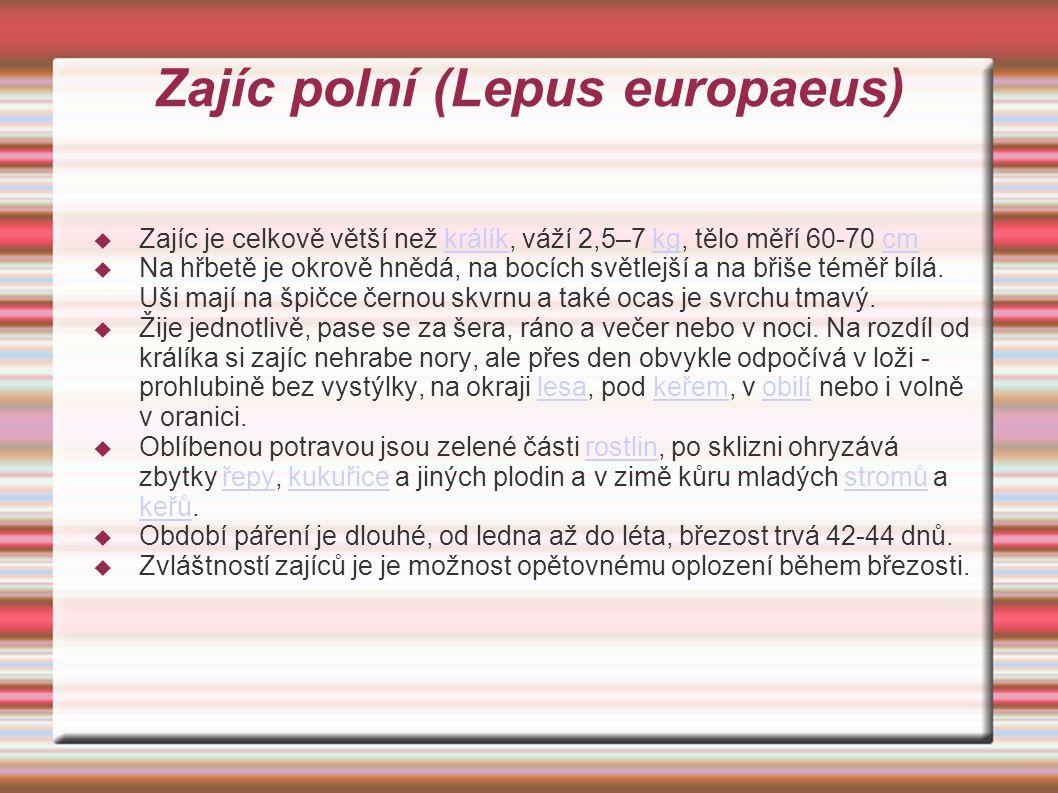 Zajíc polní (Lepus europaeus)  Zajíc je celkově větší než králík, váží 2,5–7 kg, tělo měří 60-70 cmkrálíkkgcm  Na hřbetě je okrově hnědá, na bocích světlejší a na břiše téměř bílá.